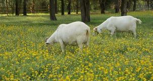 Dos cabras que pastan en un campo de ranúnculos metrajes