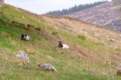 Dos cabras salvajes pastan en la hierba rodeada por las campanas azules en S foto de archivo