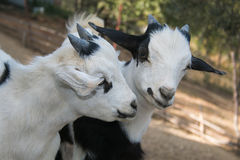 Dos cabras tibetanas enanas del bebé Imagenes de archivo