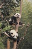 Dos cachorros de las pandas gigantes que descansan sobre el árbol Foto de archivo libre de regalías