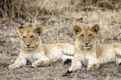 Dos cachorros de león en Masai Mara National Reserve, Kenia foto de archivo libre de regalías