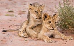 Dos cachorros de león lindos que juegan en la arena en el Kalahari Foto de archivo libre de regalías