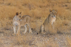 Dos cachorros de león que miran a través de sabana Imágenes de archivo libres de regalías
