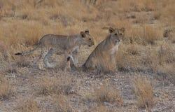 Dos cachorros de león que miran a través de sabana Imagen de archivo libre de regalías