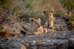 Dos cachorros de león que ponen en un cauce del río seco Imagen de archivo libre de regalías