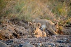 Dos cachorros de león que ponen en un cauce del río seco Fotografía de archivo libre de regalías