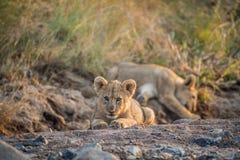 Dos cachorros de león que ponen en un cauce del río seco Fotos de archivo