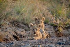 Dos cachorros de león que ponen en un cauce del río seco Fotos de archivo libres de regalías