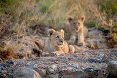 Dos cachorros de león que ponen en un cauce del río seco Foto de archivo