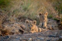 Dos cachorros de león que ponen en un cauce del río seco Imágenes de archivo libres de regalías