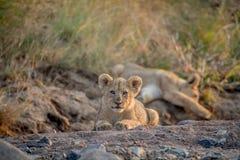 Dos cachorros de león que ponen en un cauce del río seco Fotografía de archivo