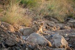 Dos cachorros de león que ponen en un cauce del río seco Imagenes de archivo