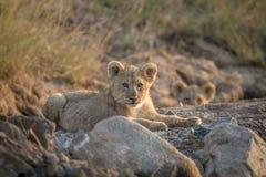 Dos cachorros de león que ponen en un cauce del río seco Foto de archivo libre de regalías