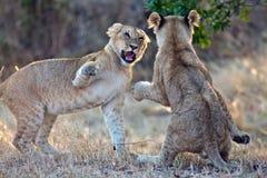Dos cachorros de leones jugaron en las vigas del sol de la mañana Fotos de archivo