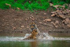Dos cachorros de tigre masculinos son que juegan y que luchan con uno a en un día lluvioso en la estación de la monzón en el parq fotografía de archivo