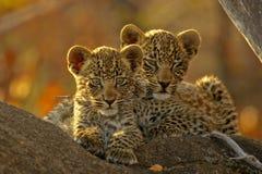 Dos cachorros del leopardo   Imagen de archivo