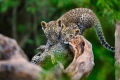 Dos cachorros del leopardo que juegan en un árbol seco en Masai Mara, Kenia Imagen de archivo libre de regalías