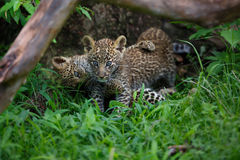 Dos cachorros del leopardo que luchan en la hierba en Masai Mara, Kenia Fotografía de archivo libre de regalías