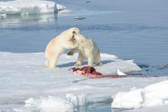 Dos cachorros del oso polar que juegan junto en el hielo imagen de archivo libre de regalías