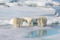 Dos cachorros del oso polar que juegan junto en el hielo fotos de archivo