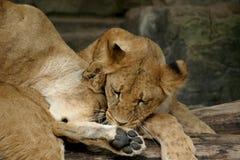 Dos cachorros que juegan (leones jovenes) Imagenes de archivo
