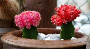 Dos cactus coloridos Fotografía de archivo libre de regalías