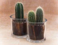 Dos cactus en potes Imágenes de archivo libres de regalías