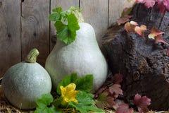 Dos calabazas blancas con las hojas verdes y del rojo en Autumn Still Life, fondo de madera de los tablones Fotografía de archivo