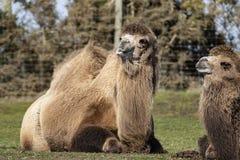 Dos camellos bactrianos en Midland del oeste Safari Park, Bewdley, Hereford y Worcester, Inglaterra fotografía de archivo