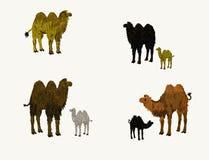 Dos camellos de las jorobas Foto de archivo libre de regalías