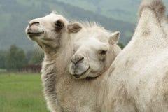 Dos camellos, el cabrito y madre Imagen de archivo libre de regalías