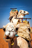 Dos camellos ensillados en el desierto Imágenes de archivo libres de regalías