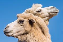 Dos camellos o dromedarios foto de archivo