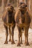 Dos camellos que colocan el parque del safari Imagen de archivo libre de regalías