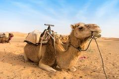 Dos camellos que se sientan en el desierto Foto de archivo