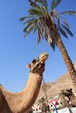 Dos camellos retrato, palmera fotos de archivo libres de regalías