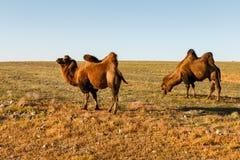 Dos camellos two-humped foto de archivo libre de regalías