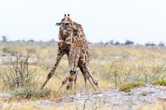 Dos camelopardalis del Giraffa acercan al waterhole Imagen de archivo libre de regalías
