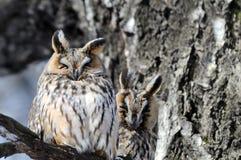 Dos camuflaron búhos de orejas alargadas en el árbol de abedul en primavera Fotos de archivo libres de regalías