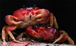 Dos cangrejos Imágenes de archivo libres de regalías