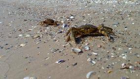 Dos cangrejos del mar en la playa, uno de los cangrejos se arrastran metrajes