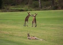 Dos canguros australianos masculinos que luchan en campo de hierba con el canguro femenino que descansa en primero plano imagen de archivo