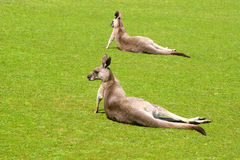 Dos canguros en Phillip Island Wildlife Park Imagen de archivo libre de regalías