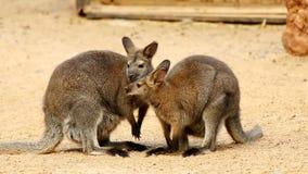 Dos canguros que se huelen en la tierra arenosa almacen de metraje de vídeo