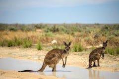 Dos canguros se refrescan abajo en una charca durante el tiempo caliente en la lana de borra N Fotografía de archivo libre de regalías