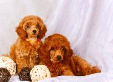 Dos caniches rojos se sientan en un fondo gris Perritos preciosos con las bolas decorativas Foto de archivo