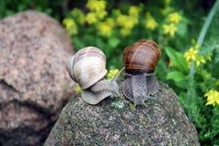 Dos caracoles Foto de archivo libre de regalías