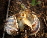 Dos caracoles en amor Foto de archivo libre de regalías