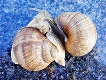 Dos caracoles en el juego Foto de archivo libre de regalías
