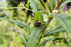 Dos caracoles en una hoja de la planta Fotos de archivo